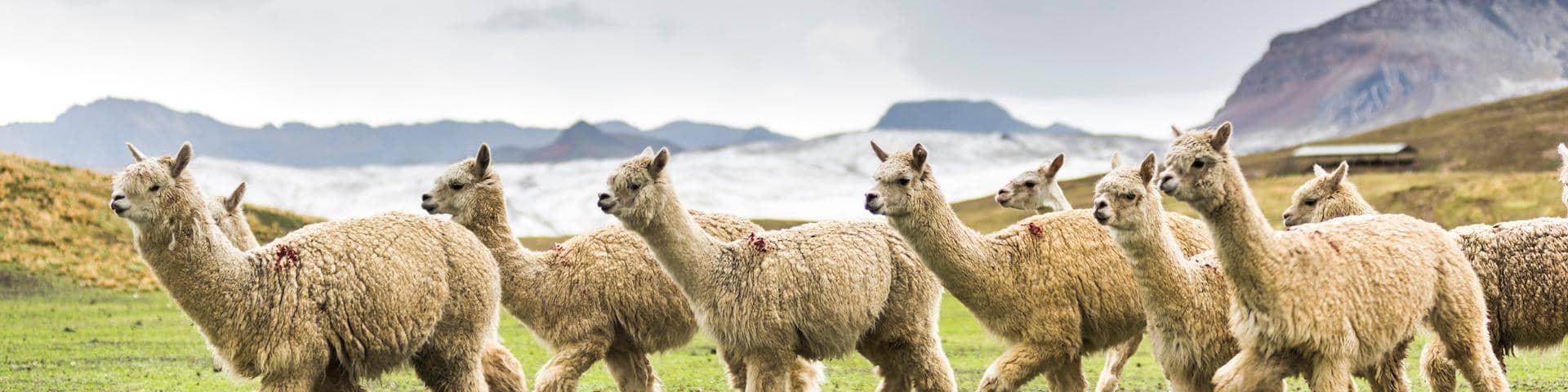 Alpaca herd Peru wool